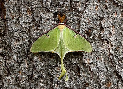 Clinging - Luna Moth (Judge C.R. Magney State Park - Minnesota)