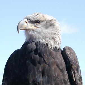 EagleWhite