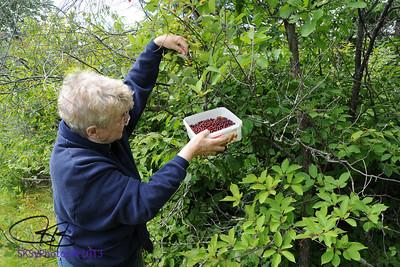 Doris picking chokecherries near the corner.