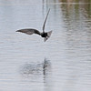 Black tern at Sherburne NWR