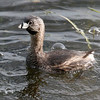 Pied-billed grebe at Sherburne NWR