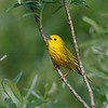 Yellow warbler at Sherburne NWR