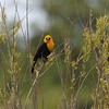 Yellow-headed blackbird at Sherburne NWR