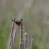 Marsh wren at Sherburne NWR