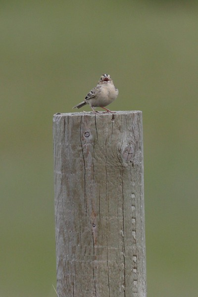 Grasshopper sparrow at Sherburne NWR