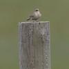 Grasshopper sparrow at Sherburne NWR