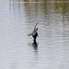 Black tern at Sherburne NWR