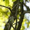 Least flycatcher at Mille Lacs Kathio State Park