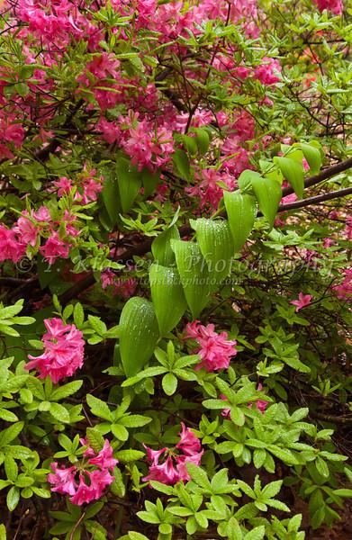 Azalea flowers blooming in spring at the Minnesota Landscape Arboretum in Chaska, Minnesota, USA, America.