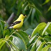 American goldfinch at Whitewater