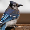 Blue jay at Whitewater