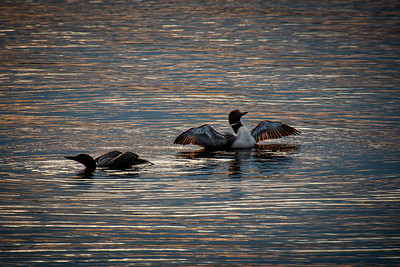 Common Loon at Sunset 1