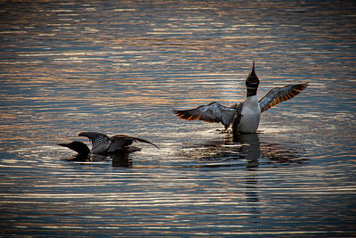 Common Loon at Sunset 2