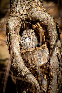 Eastern Screech Owl, Minneapolis, Minnesota