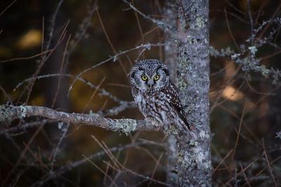 Boreal Owl, Sax-Zim Bog