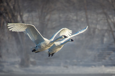 Trumpeter Swan in Flight