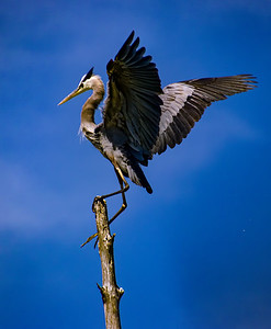 Great Blue Heron on Perch