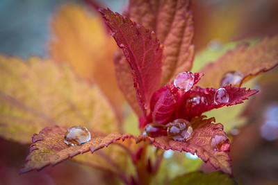 Rain Drops clinging to Japanese Spirea near the Perennial Garden.