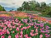 The 2013 Arboretum Tulip Collection.