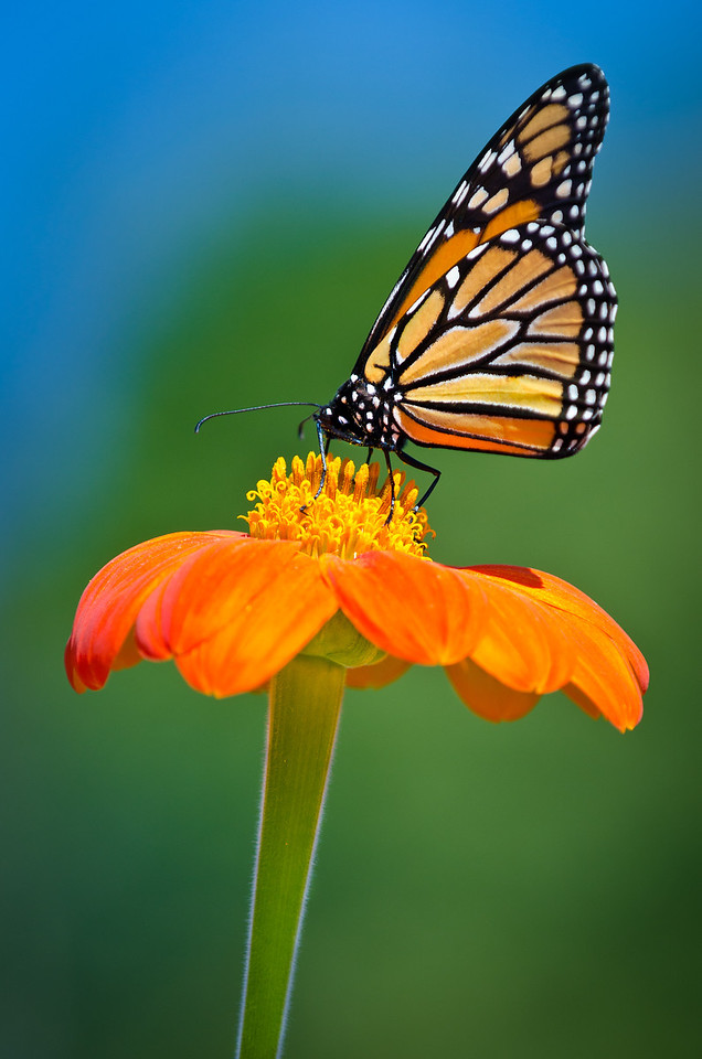 Tithonia (Mexican Sunflower) is a butterfly magnet in the Sensory Garden---Arb-2048