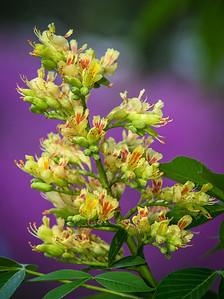 Ohio Buckeye Blooms.
