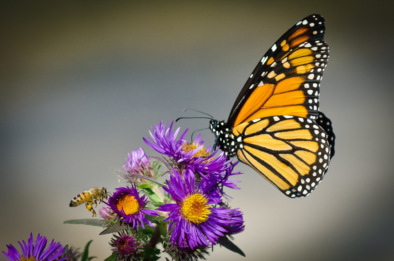 Monarch and Honey bee---Arb-2050