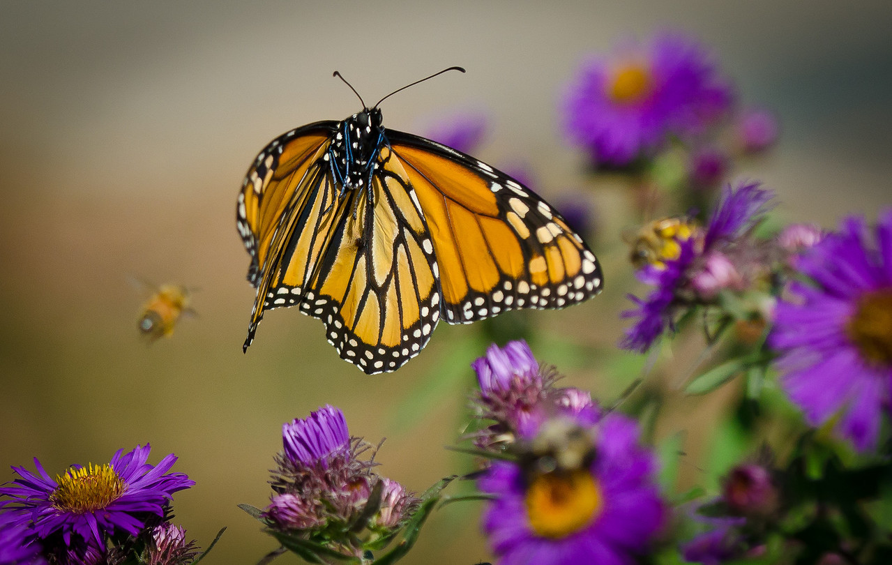 A Monarch jumping from one Aster to another---Arb-2049