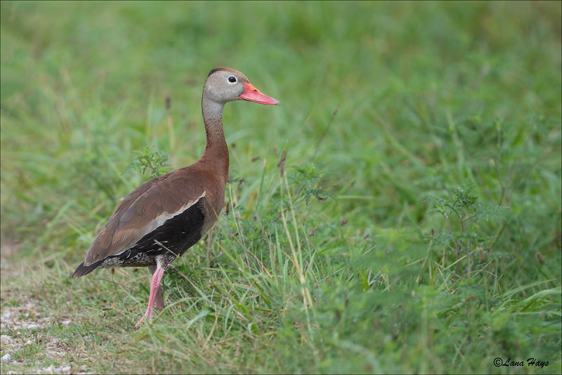 Black-bellied Whistling Duck (8/14/2019)