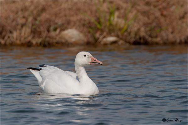 Snow Goose (10/31/2003)