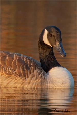 Canada Goose (11/5/2005)
