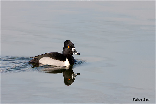 Ring-necked Duck (2/28/2006)