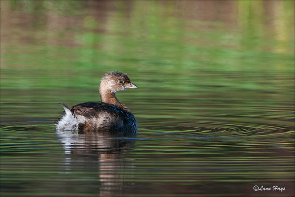 Pied-billed Grebe (10/18/2003)