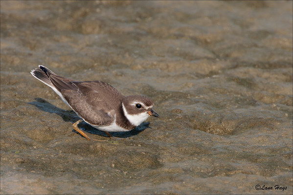 Semipalmated Plover (9/5/2009)
