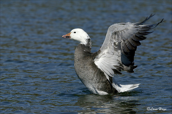 Snow Goose - Blue Morph (6/12/2005)