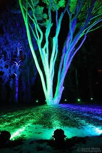 Tanyosho Pine - Morton Arboretum Illumination 2019