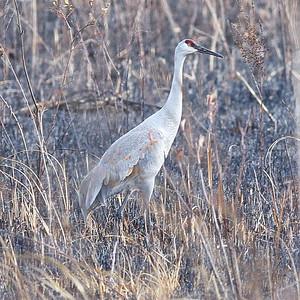 Sandhill Crane at Moraine Hills State Park