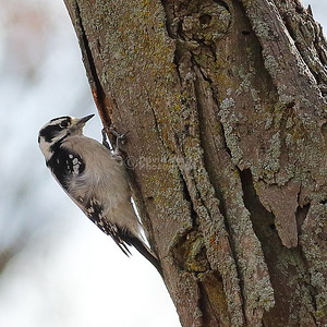 Downey Woodpecker at Moraine Hills State Park