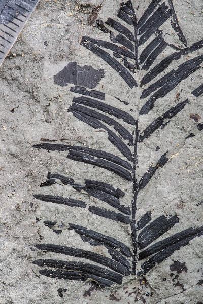 Cf. Taxodium