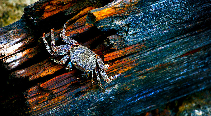 Trinidad-Spotted Crab-001