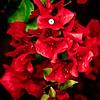 Trinidad-Bougainvillea-Red