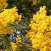 Mimosas florecidas (Mazouco - Portugal)