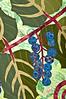 hoddick oregon grape detail 2