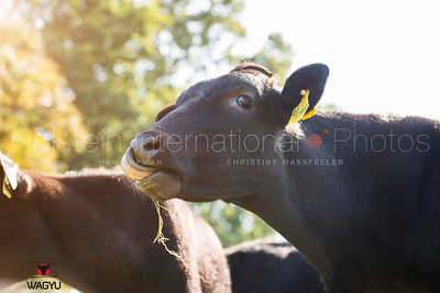 wagyu-youngstock-holtmann_20140922_0013