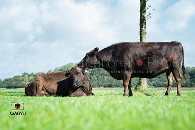 wagyu-herd-holtmann_20140922_0031
