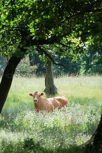 masterrind-limousin-herd_20140702_0014