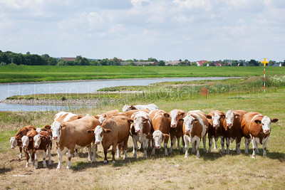 masterrind-beef-cattle-herd_20140702_0075