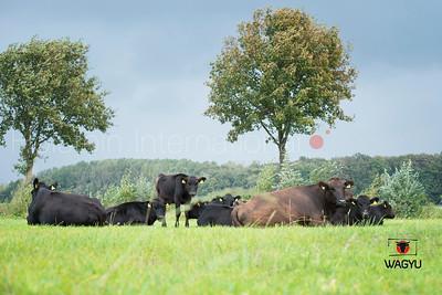 wagyu-herd-holtmann_20140922_0015