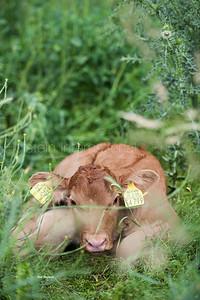 masterrind-beef-cattle-herd_20140702_0030