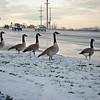 Damn Geese!