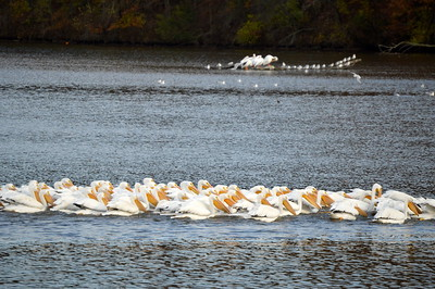 Misc. Fall 2016 Pelican Migration Photos
